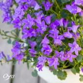 La campanule est à l'honneur chez Oya fleurs ! Laisse teinter ses petites clochettes bleues sur vos balcons ou bord de fenêtre, elles fleuriront jusqu'à l'été ! - Profitez-en, le pot de Campanule est à 9,90 €, jusqu'au 25 avril dans les boutiques participantes. . . . #campanule #plantlover #plantaddict #plantsofinstagram #plantes #offre  #oya #oyafleurs
